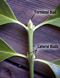 Apical or terminal bud