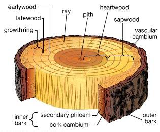 Tree cross-section