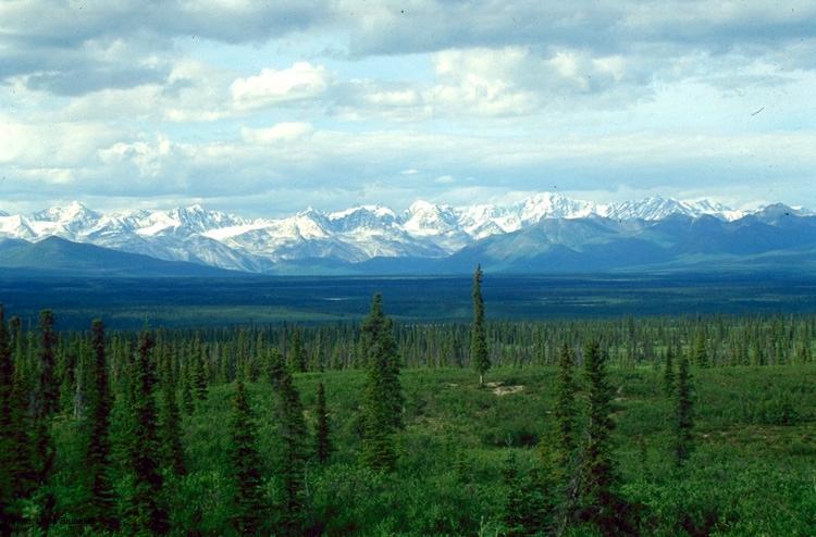 Alaskan spruce