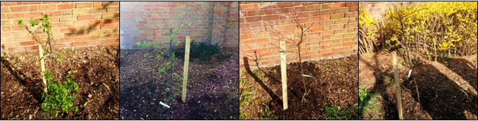 Fruit trees recently planted by Dig Merton