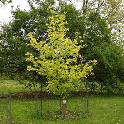 Acer Negundo Kellys Gold Treepedia