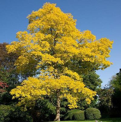 Robinia Pseudoacacia Frisia Treepedia