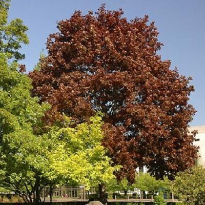 Acer platanoides 39 crimson king 39 treepedia - Arce platanoide ...