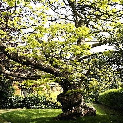 catalpa bignonioides 39 aurea 39 treepedia. Black Bedroom Furniture Sets. Home Design Ideas