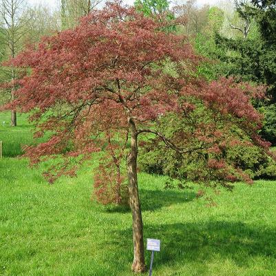 acer palmatum var dissectum 39 garnet 39 treepedia. Black Bedroom Furniture Sets. Home Design Ideas